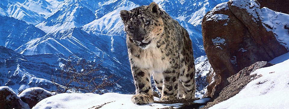 Snow leopard PHOTOGRAPHY_header.jpg